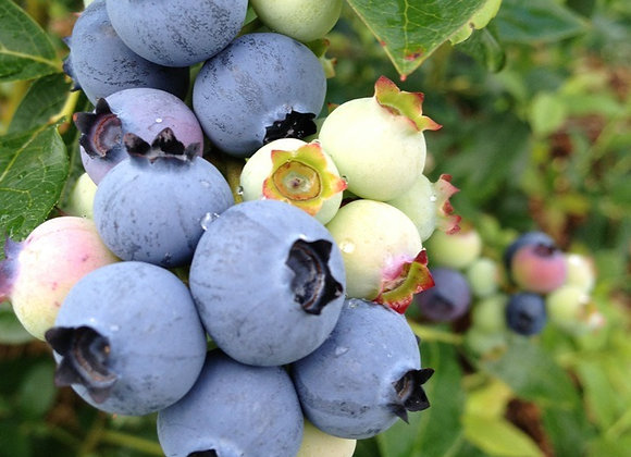 Climax Blueberry
