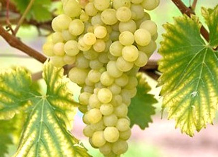 Lakemont (White) Seedless Grape