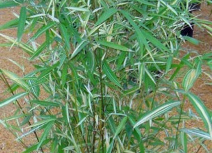 Variegated(Running) Bamboo