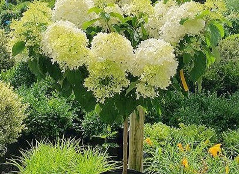Phantom Hydrangea (Tree Form)