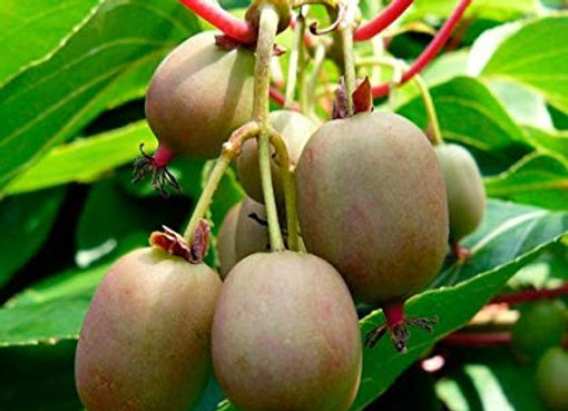 Ken's Red Kiwi Plant