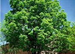 Ash Tree (Green)