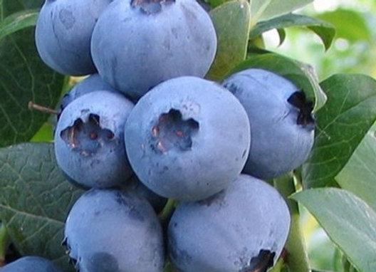 Alapaha Blueberry Bush