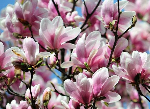 Saucer Japanese Magnolia