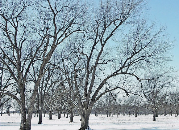 Cold Hardy Pecan Tree