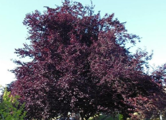 Thundercloud Plum Tree