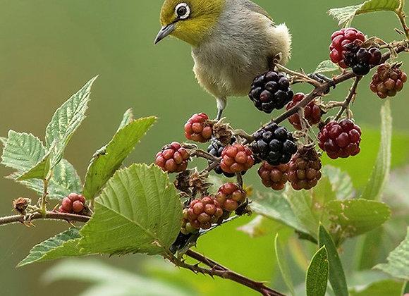 Wildlife Blackberry Bush