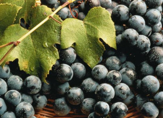 Concord (Black) Bunch Grape