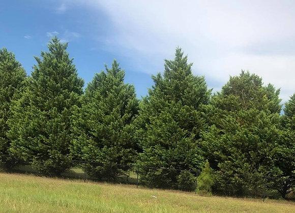 Green Giant Thuja Arborvitae