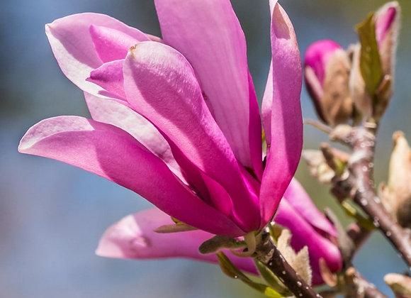 Ann Japanese Magnolia