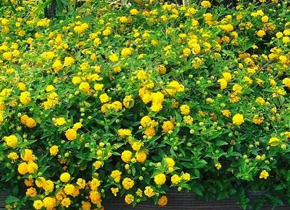 Yellow Lanthana Plant