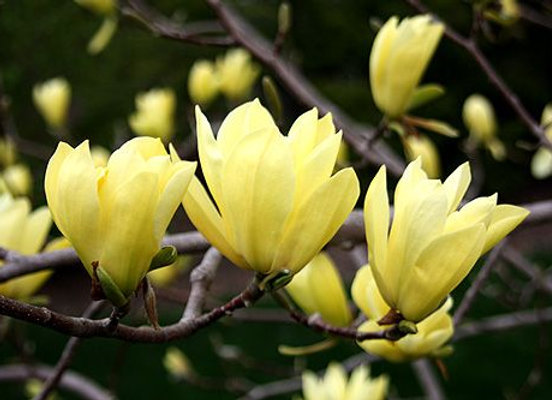 Yellow Bird Japanese Magnolia