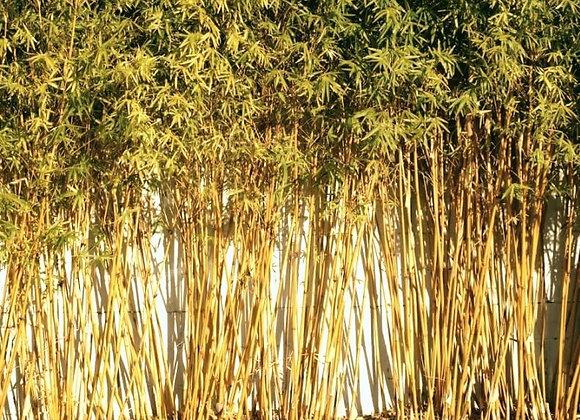 Golden Goddess (Clumping) Bamboo