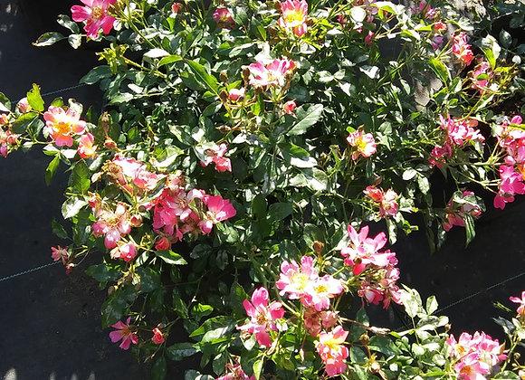 'Pink' Drift® Rose