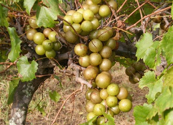 Fry (Female) Scuppernong Grape