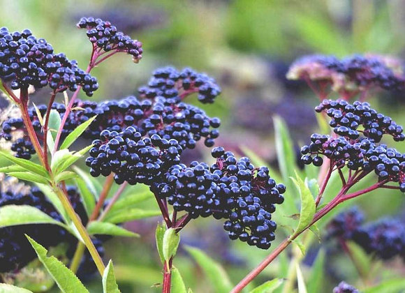 Native Elderberry 'Sambucus'