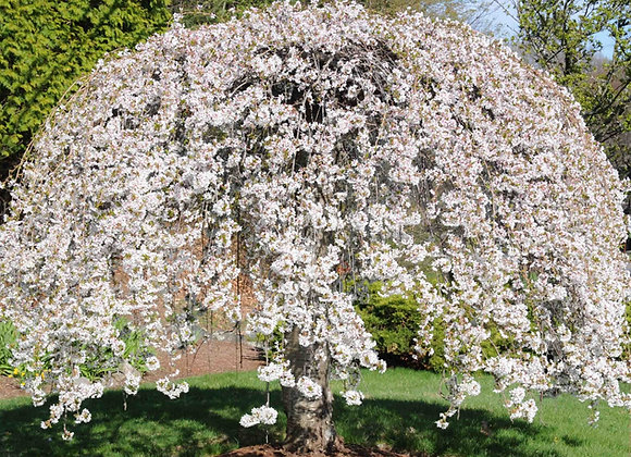 Weeping Yoshino Flowering Cherry Tree