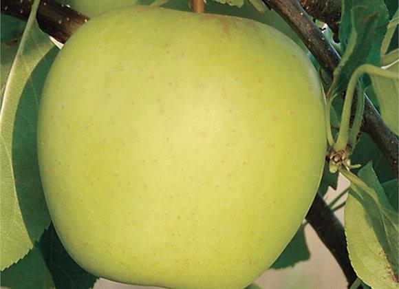 Golden Delicious Apple Tree