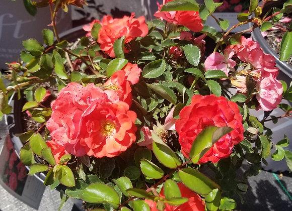 Coral Drift® Rose