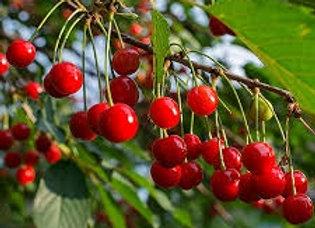 North Star Cherry Tree