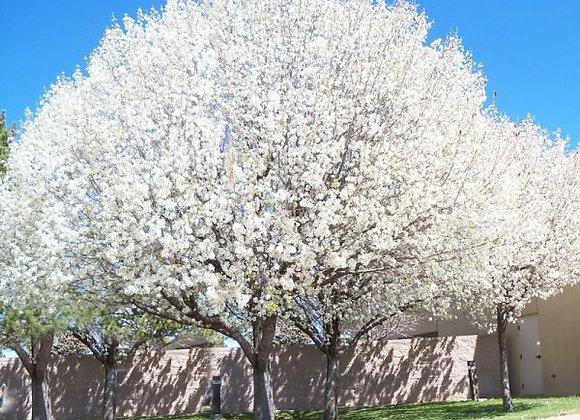 Aristocrat Flowering Pear Tree