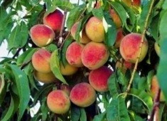 FL Prince Peach Tree