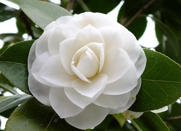 'Morning Glow' Camellia