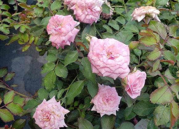 'Sweet' Drift® Rose