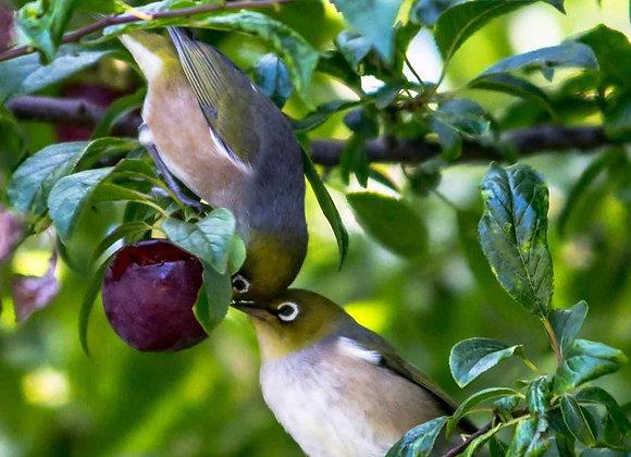 Wildlife Plum Tree