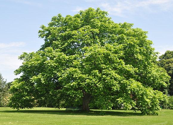 White Walnut Tree