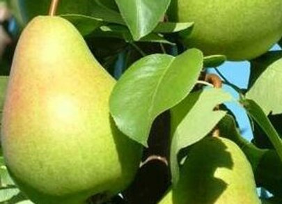 Floridahome Pear Tree