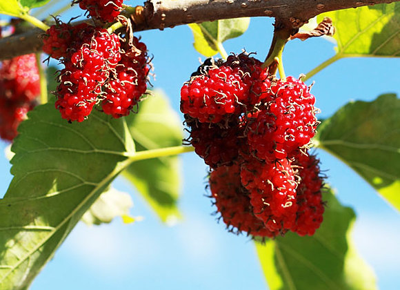 Giant Red Mulberry Tree