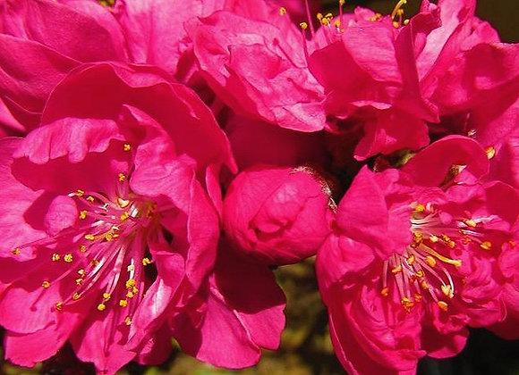 Red Flowering Peach