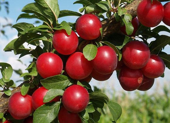 Morris Plum Tree