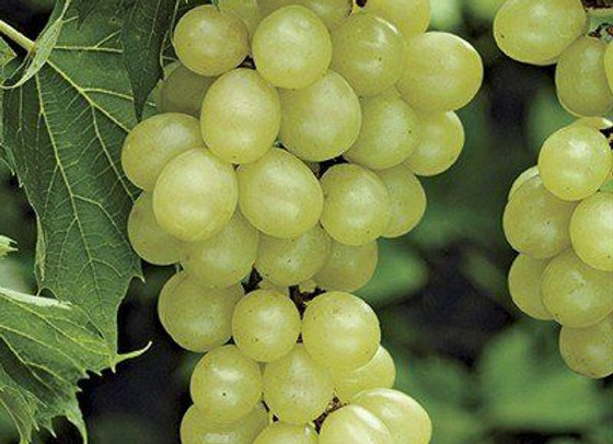 Niagara (White) Bunch Grape