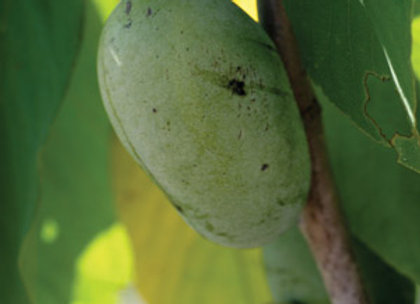 Native Seedling Paw Paw Tree