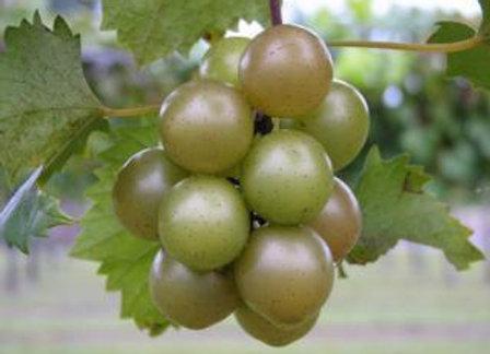 Summitt (Female) Scuppernong Grape