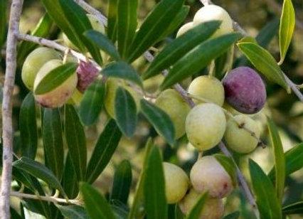 European Olive Tree (European)