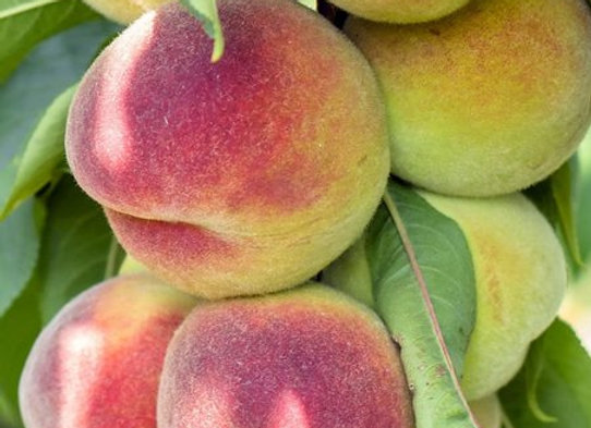 Belle of GA Peach Tree