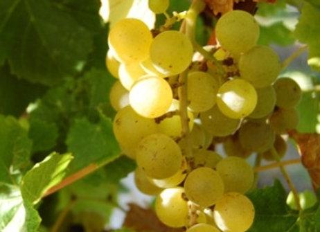 Blanc Du Bois Wine Grape