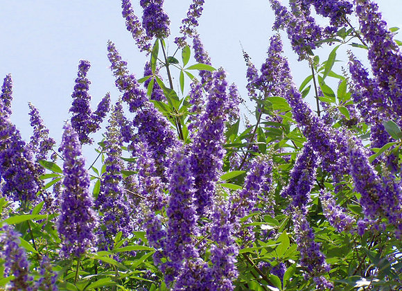 Purple Vitex