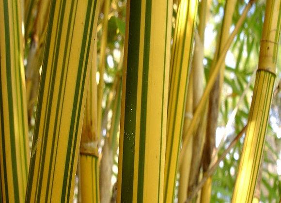 Alphonse Karr (Clumping) Bamboo