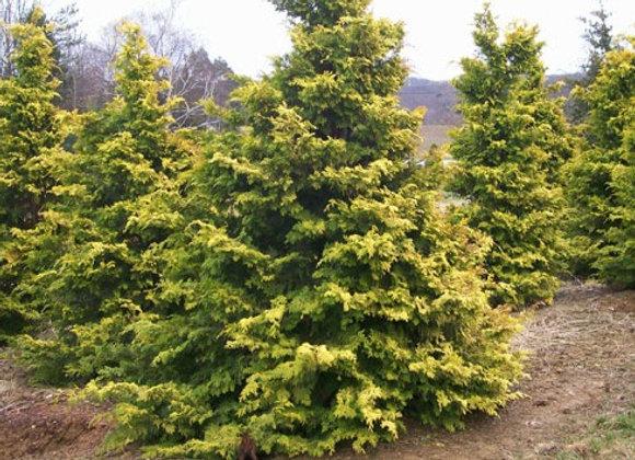 Crippsii Hinoki Cypress