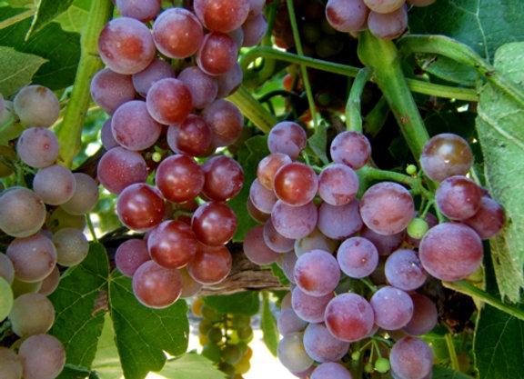 Reliance Grape Vine