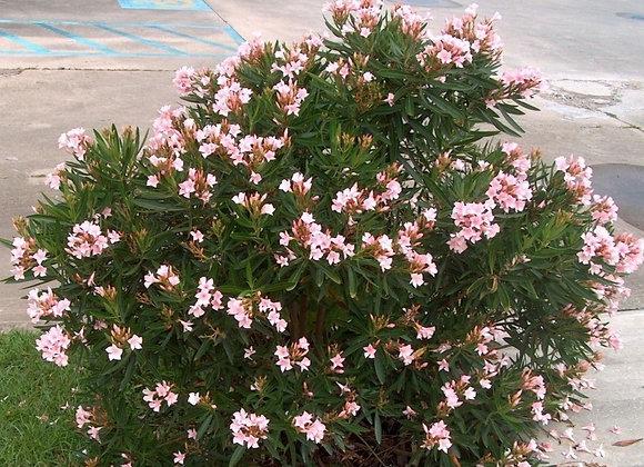 'Petite Pink' Oleander