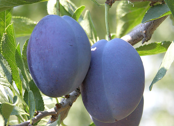 Blue Damson Plum Tree