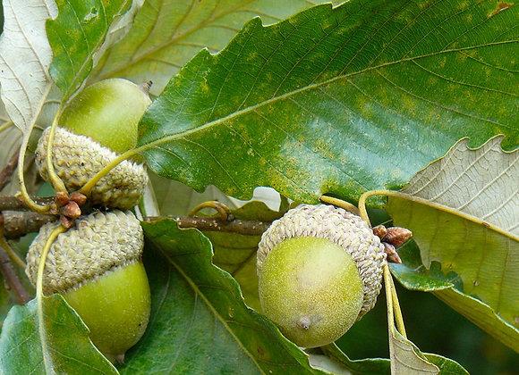 Swamp Chestnut Oak Tree