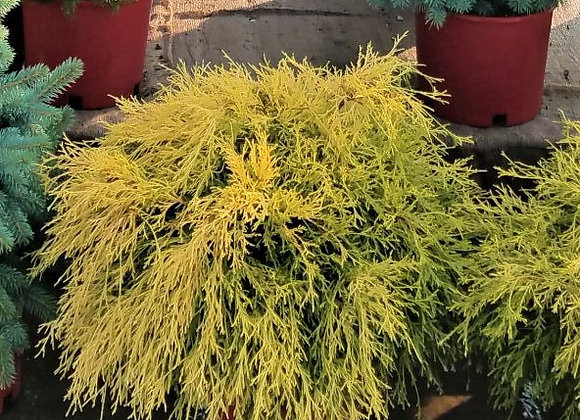False Golden Mop Cypress