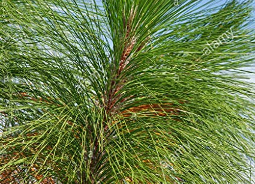 Long Leaf Pine Tree