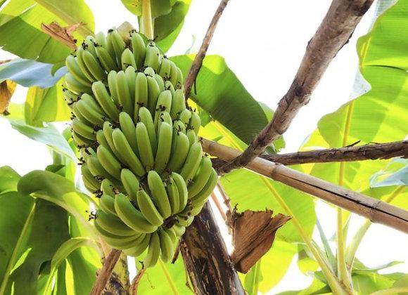 Grand Nain Banana Plant